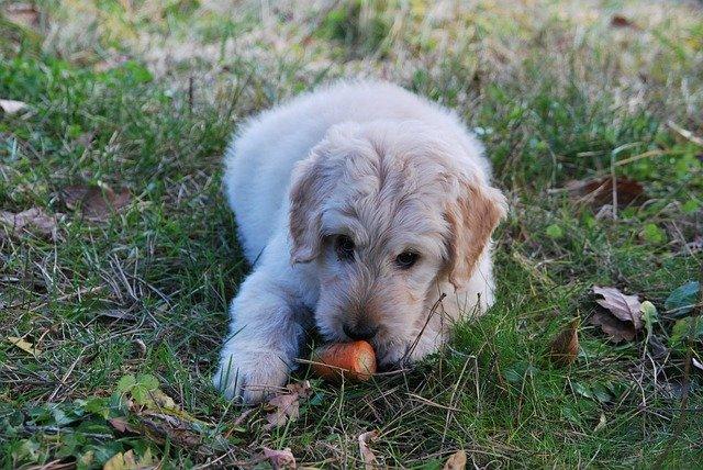 pes s mrkví