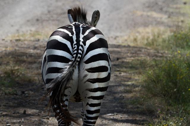 zadek zebry