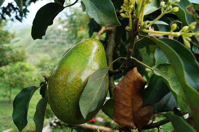 avokádo strom