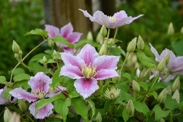 květiny klematis