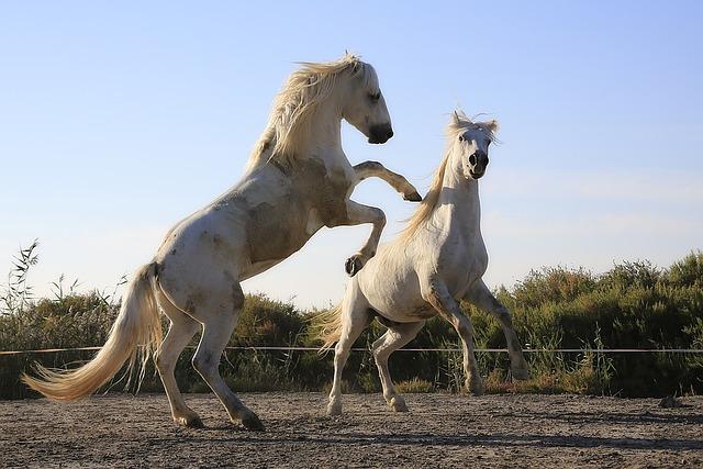 vzpínající se bílí koně